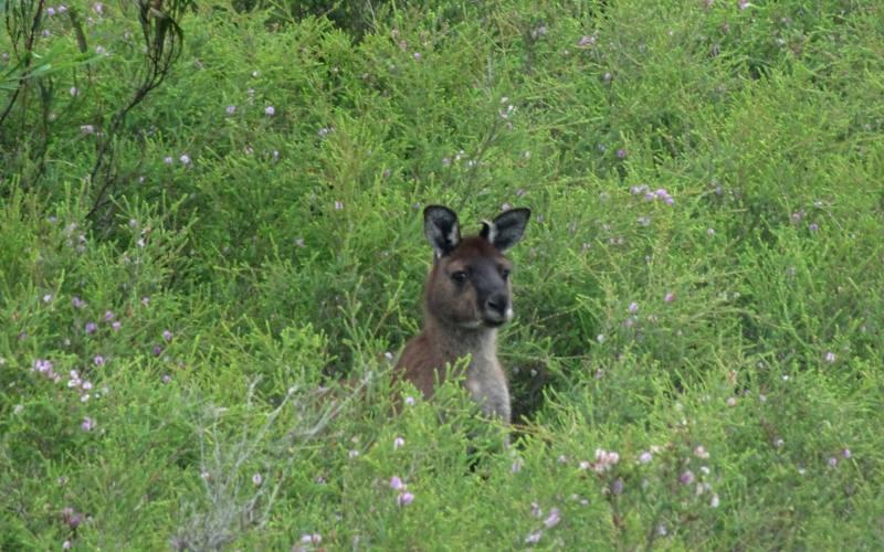 Canguro nascosto durante il percorso Platypus Waterhole nel Flinders Chase