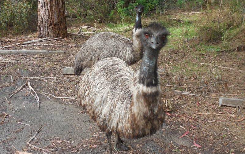 Emù selvatici e simpatici dentro la Riserva Naturale Tower Hill in Victoria