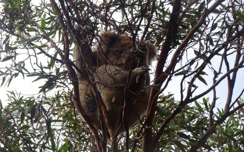 Koala che dorme su un albero in posizione Yoga a Kangaroo Island