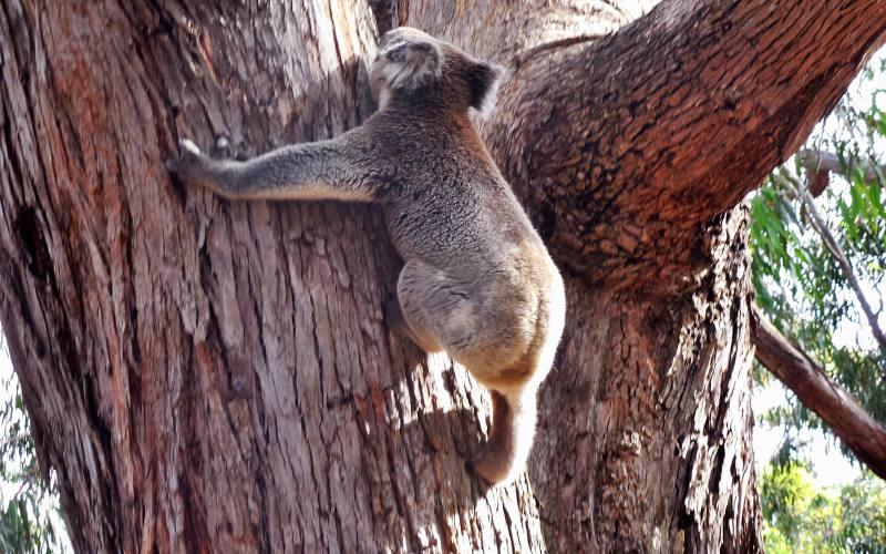 Koala che si arrampica su un albero del Visitor Centre del Flinders Chase a Kangaroo Island