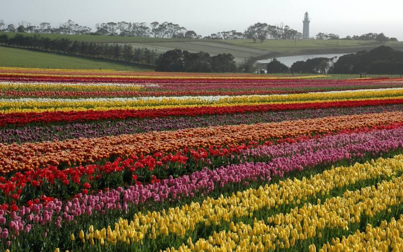 Campo di tulipani in fioritura a Table Cape, villaggio del Nord della Tasmania in Australia