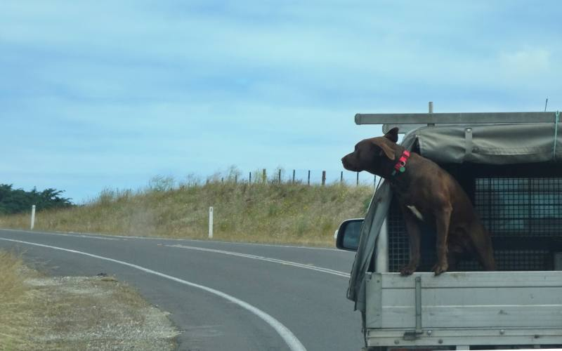 Cane nel cassone di una 4x4 sulla Great Ocean Road