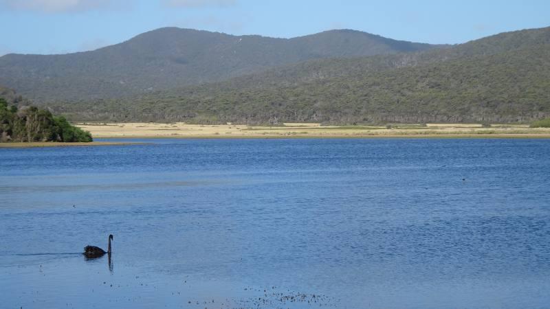 """Cigno nero nel lago del Parco Nazionale """"Narawntapu National Park"""" in Tasmania"""