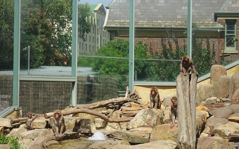Esposizione di macachi giapponesi nel City Park di Launceston in Tasmania