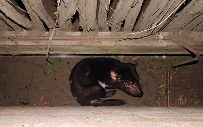 Diavolo della Tasmania trovato in libertà su Maria Island in Tasmania, Australia