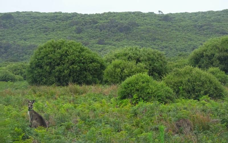 Canguro nel percorso Promontory Wildlife Park dentro il Parco Nazionale Wilsons Promontory