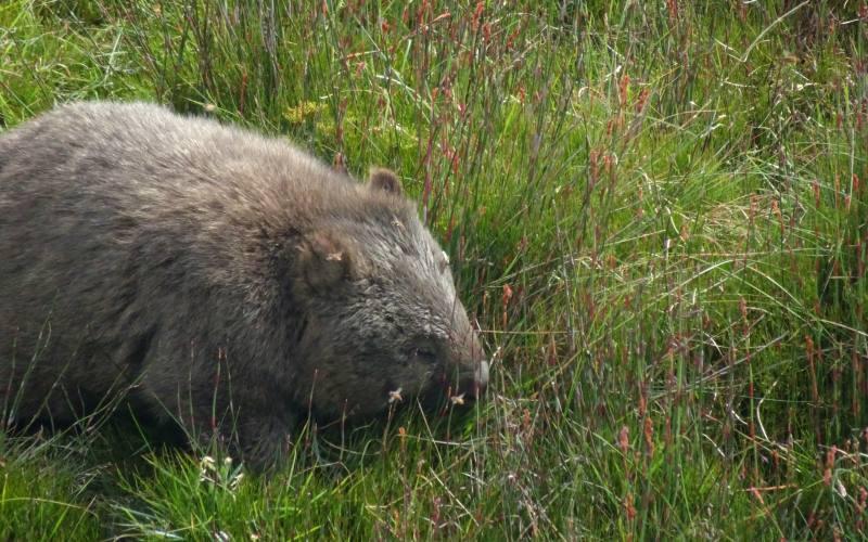 Esemplare di Wombat incontrato nel percorso di Ronny Creek a Cradle Mountain in Tasmania