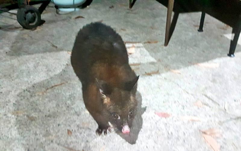 """""""Black Possum"""" o Opossum nero visto nel campeggio di Hobart in Tasmania"""