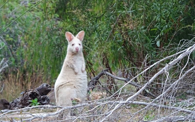 Rarissimo esemplare di Wallaby bianco albino incontrato in un percorso di trekking a Bruny Island, isola della Tasmania