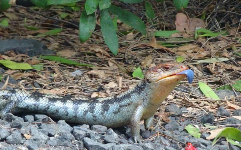 Lucertola Blue Tongue, il rettile con la lingua blu, incontrato nella Tasman Peninsula