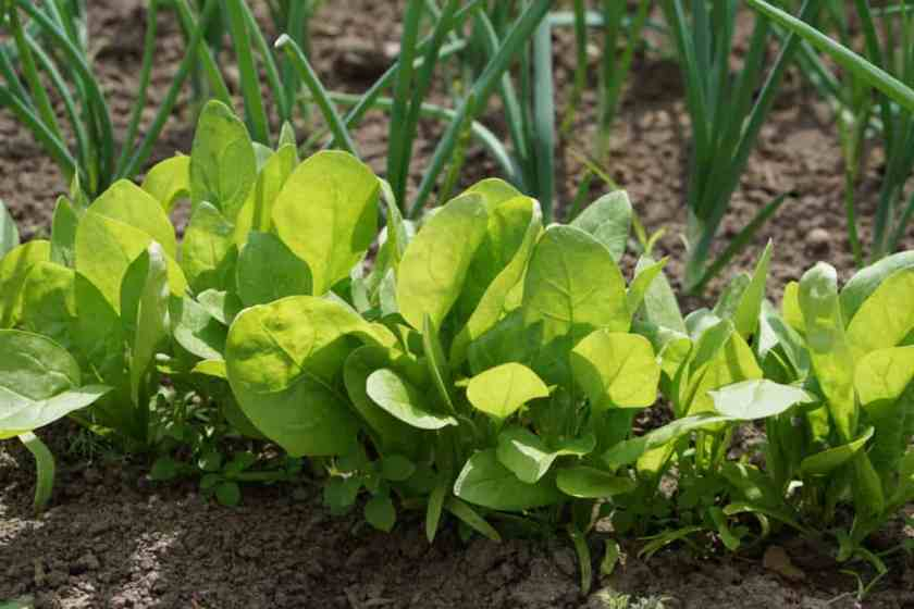 Spinach organic food