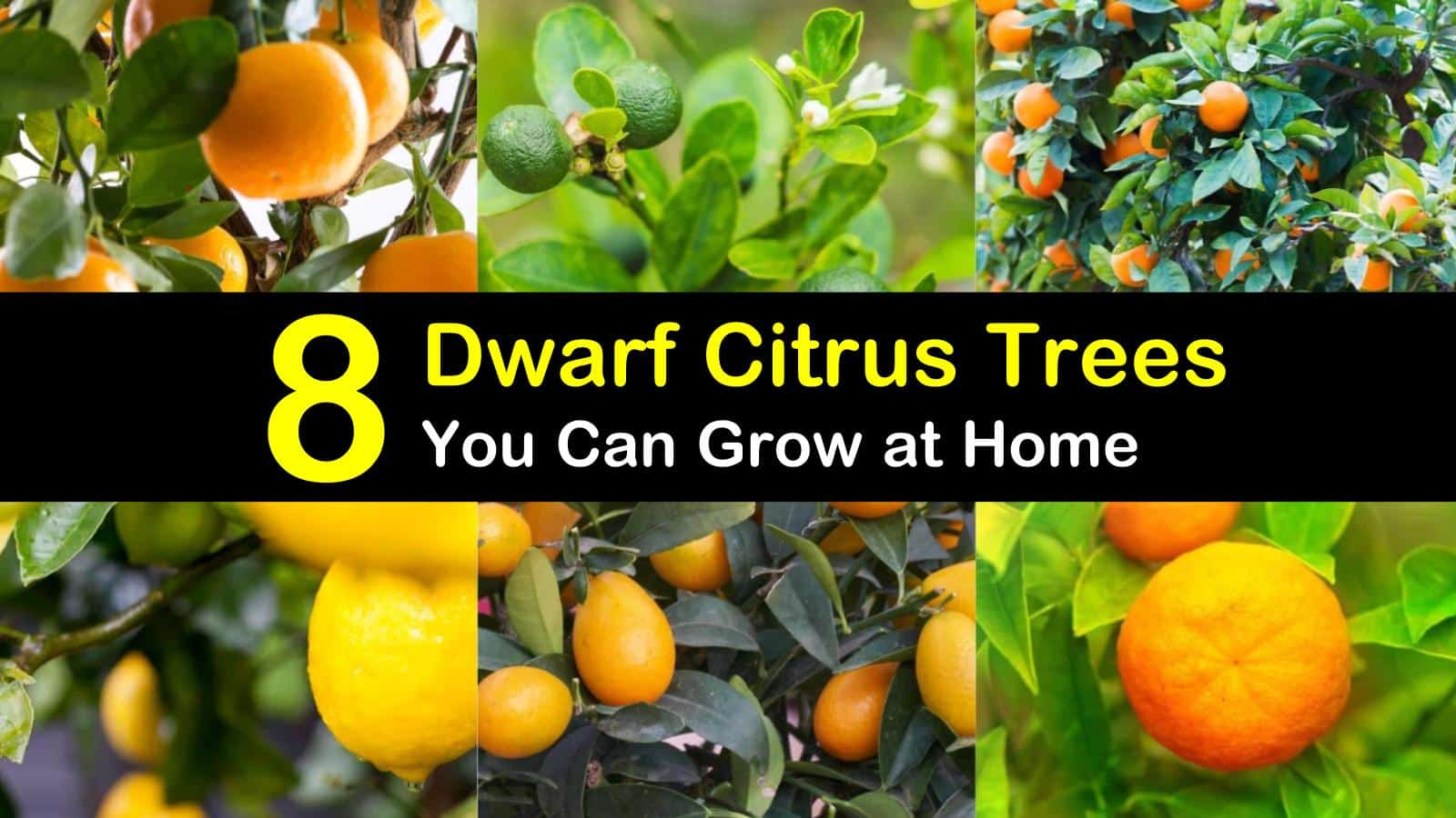 8 different dwarf citrus trees you can
