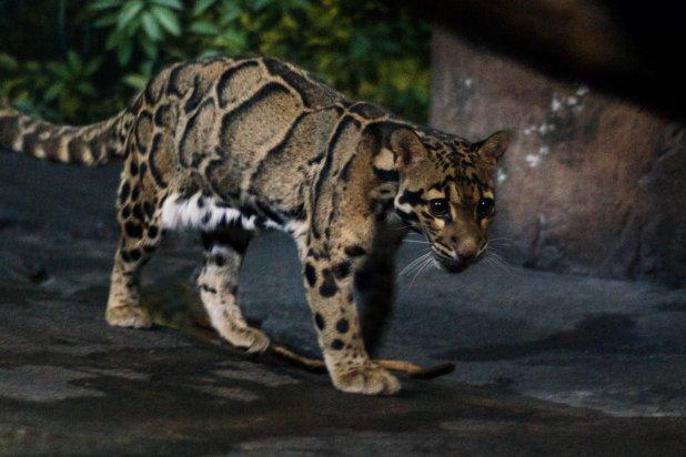 Walking clouded leopards