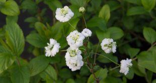 Bridal Wreath Spirea Plant Profile