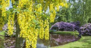 Golden Chain Tree Plant Profile