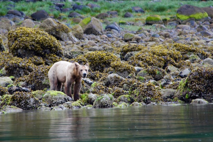 Grizzly Bear at Knight Inlet Lodge British Columbia Canada
