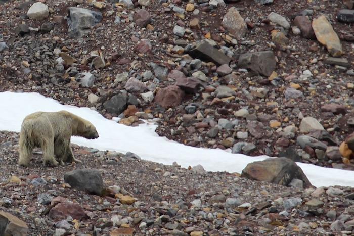 Polar Bear Hamiltonbukta Svalbard