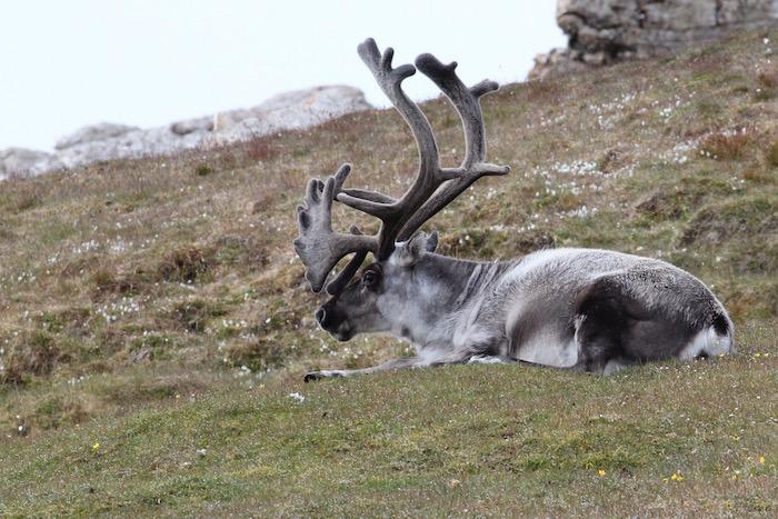 Arctic Reindeer Svalbard