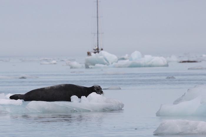 Bearded Seal Hamiltonbukta Svalbard