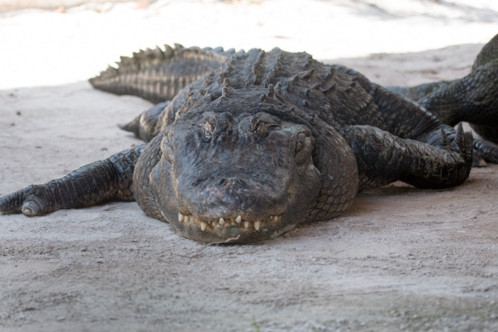 Alligator in the Everglades. Saw on my included excursions on my Escorted Tour of Florida