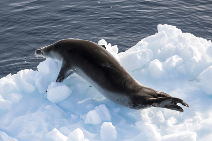 Lemiare Channel Antarctica - Leopard Seal