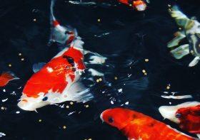 Cara Memberi Makan Ikan Koi yang Baik