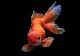 Tips Merawat Ikan Mas Koki Agar Warnanya Tetap Kinclong