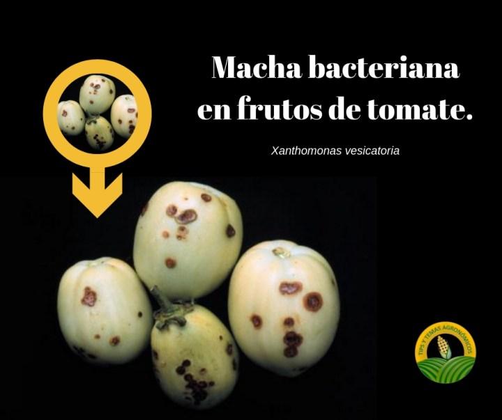 Mancha bacteriana en frutos de tomate