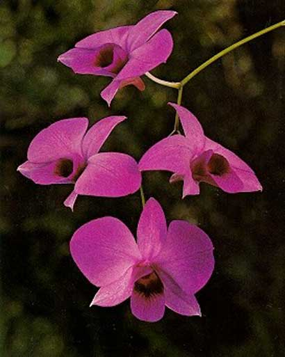 Dendrobium 10 Most Beautiful Flowers In The World