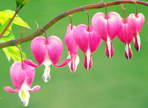 bleeding heart 10 Most Beautiful Flowers In The World