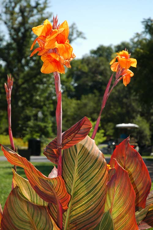 canna flower 10 Most Beautiful Flowers In The World