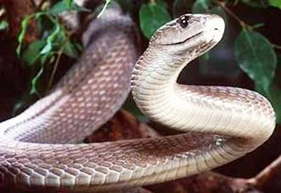 6. Black Mamba Top 10 Most Dangerous Snake Species