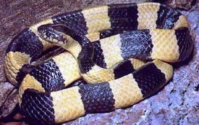 8. Multibanded Krait Top 10 Most Dangerous Snake Species