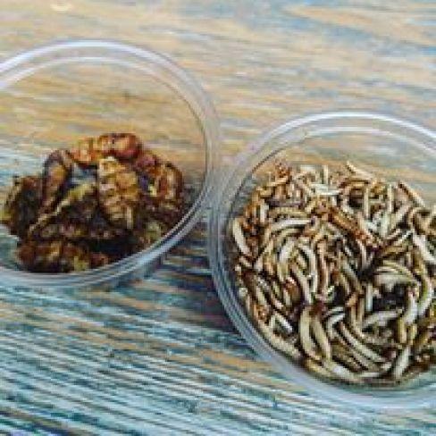 Thaikhun bugs