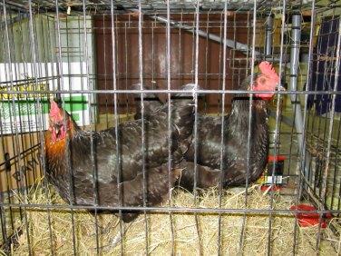 Hens at Tiree Show 2013