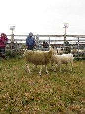 Judging Crossbred Sheep Championship