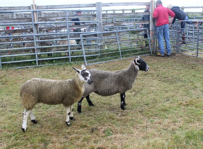 Mule and Blackface Gimmer