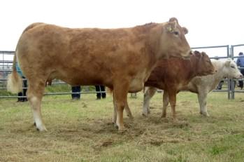 Purebred Cattle Champion