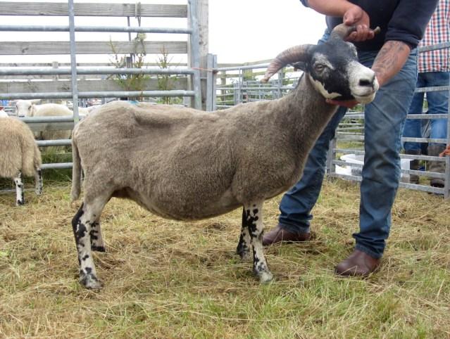 Blackface Sheep Champion