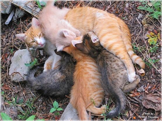 Кошка кормит котят | Фото Блог TiRoV.com