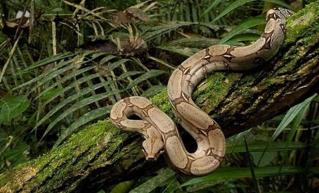 A Large Snake