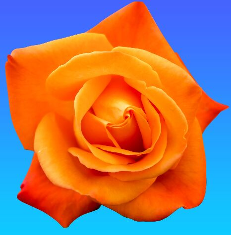 Isolated Rose Flower PSD