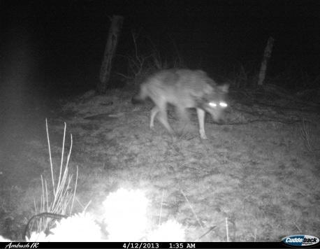Le loup flashé par le piège photographique de l' ONCFS © ONCFS