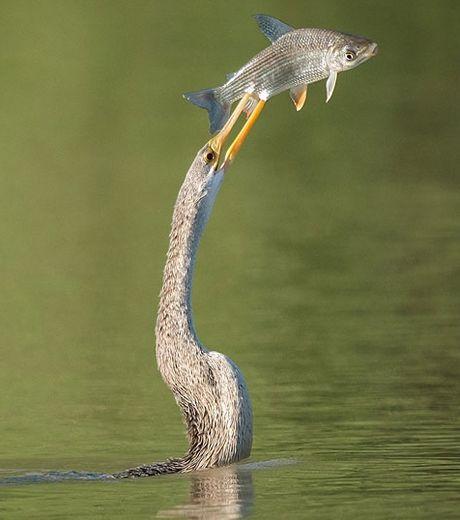 ce-pauvre-poisson-n-aura-pas-mis-longtemps-a-se-faire-cueillir-au-vol-par-cet-oiseau_127570_w460
