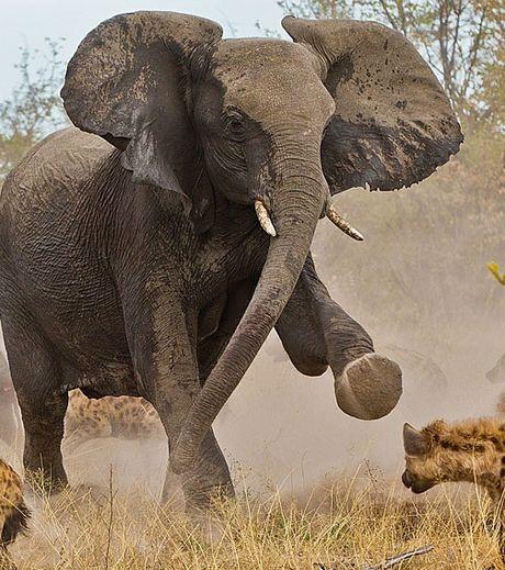 un-robuste-et-courageux-elephant-essayant-de-repousser-les-assauts-de-hyenes_127571_w460