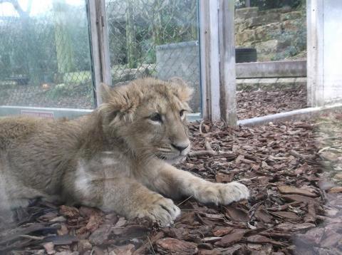 Une Lionne asiatique vient de voir le jour.