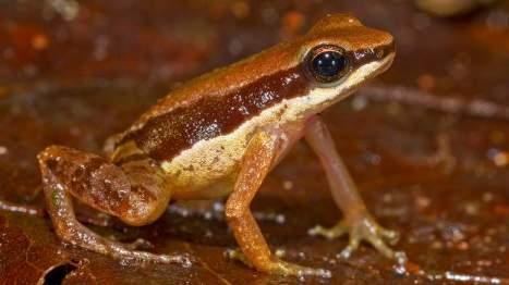 """Cette toute petite grenouille a été baptisée """"Allobates amissibilis"""""""