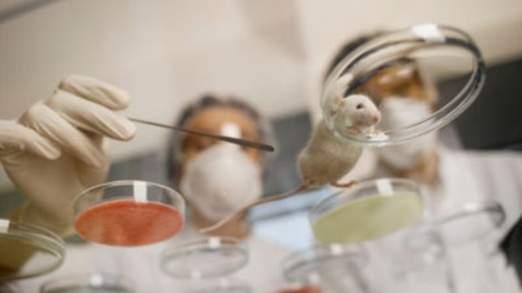 Les cheveux humains cultivés sur le dos de souris a duré six semaines