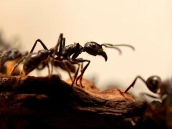 pilagens: une nouvelle espèce de fourmis esclavagiste