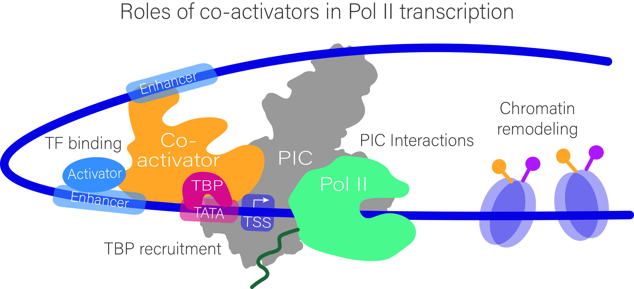 Elucidating mechanisms and dynamics of gene activation by the interplay between RNA Polymerase II, GTFs and co-activators